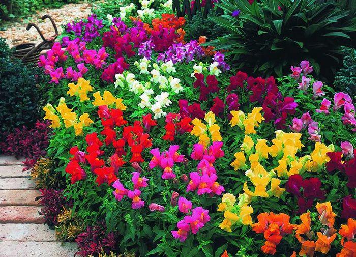 Какие цветы однолетники