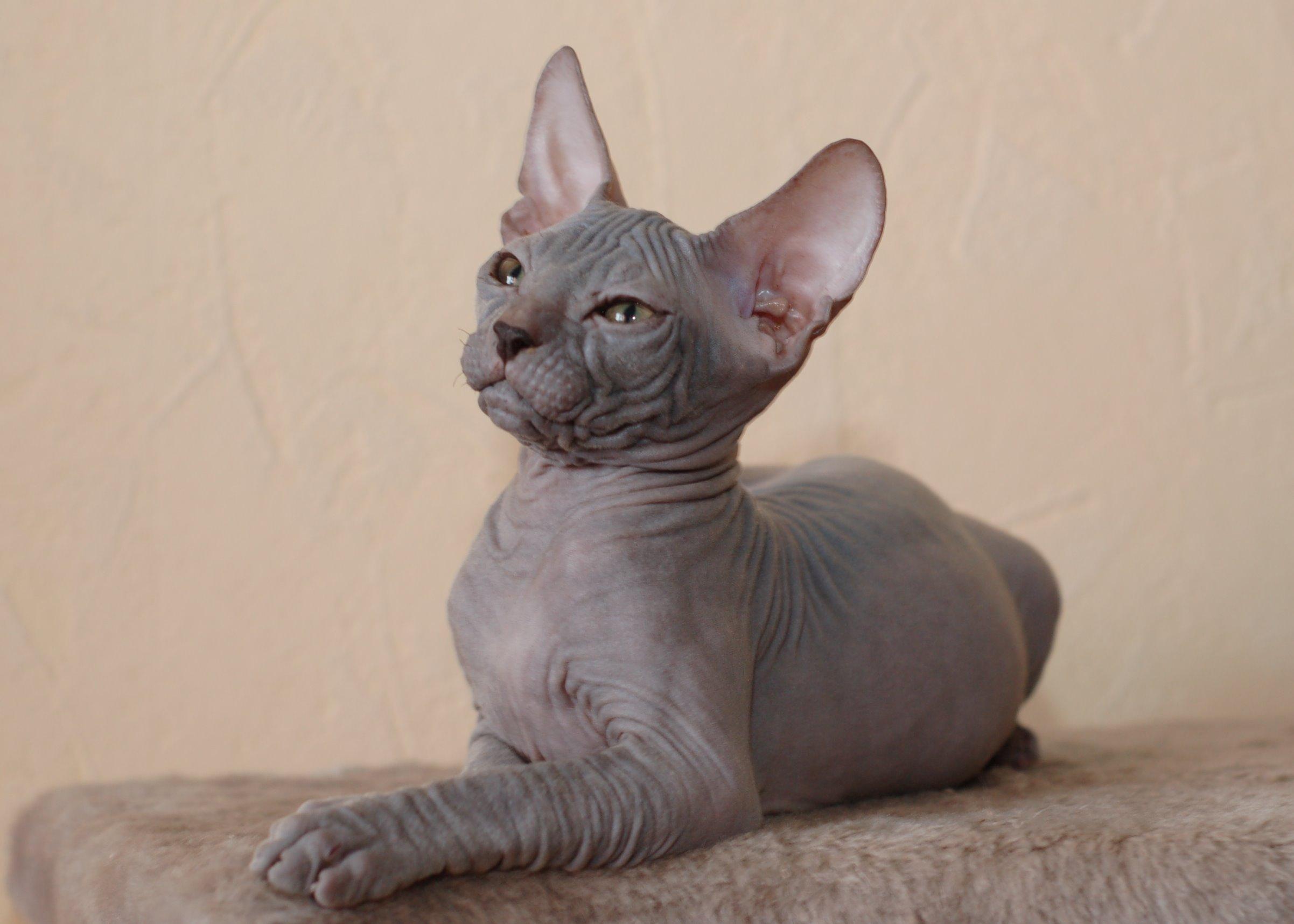 НаСтаврополье из-за долгов владельца арестовали кота