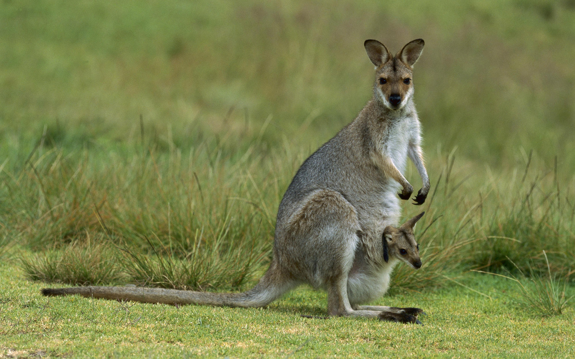 Kangaroo  Basic Facts About Kangaroos  Defenders of Wildlife