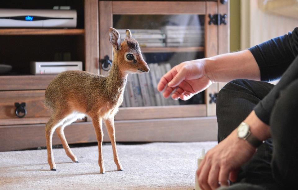 ВМосковском зоопарке родился детёныш овцебыка