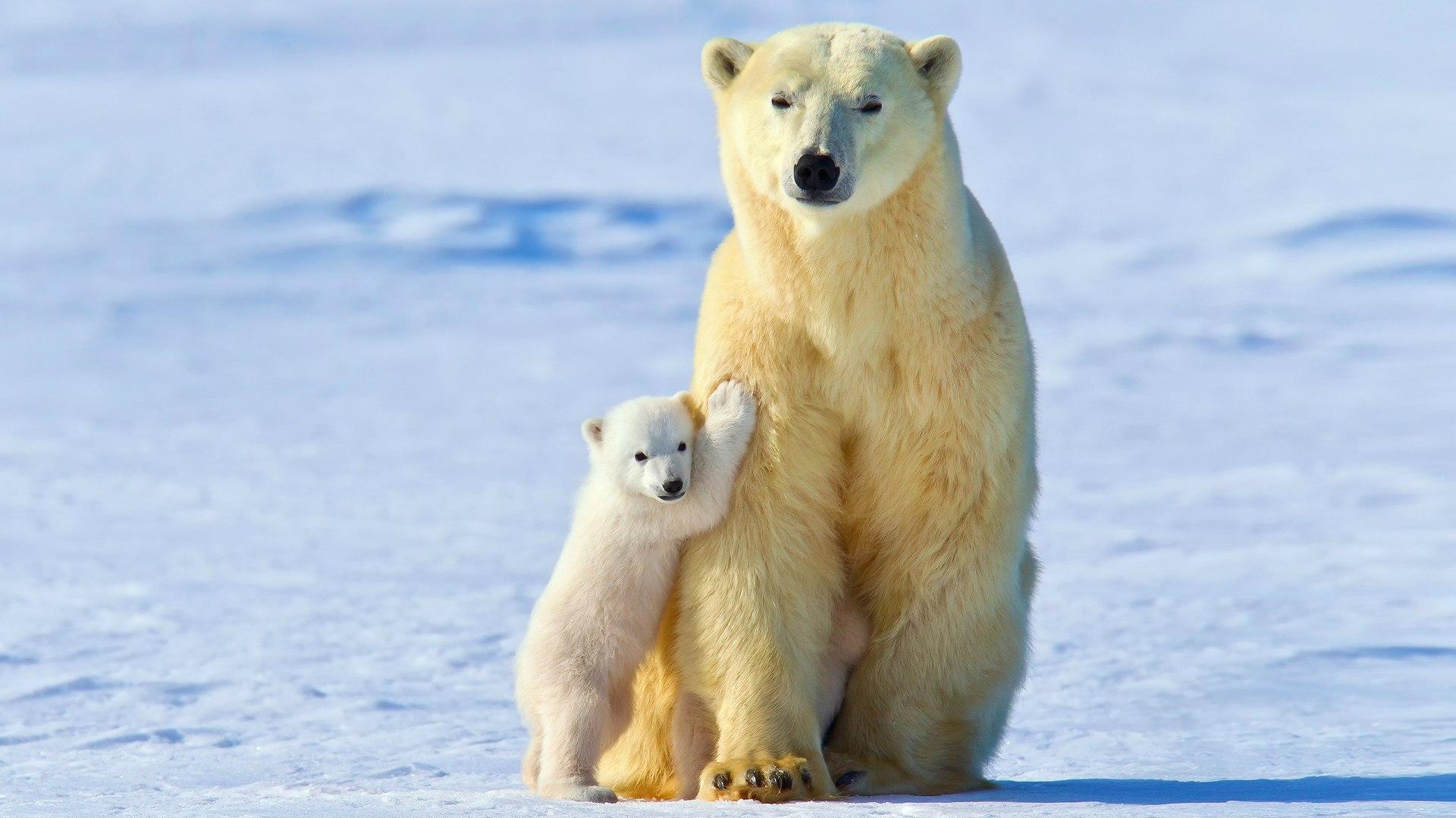 Экологи спасли слишком любознательного медвежонка наострове Врангеля наЧукотке