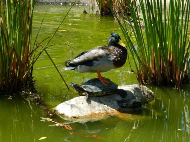 Вурочище «Поляница» вТиНАО выпустят 2-х болотных черепах ивосемь крякв