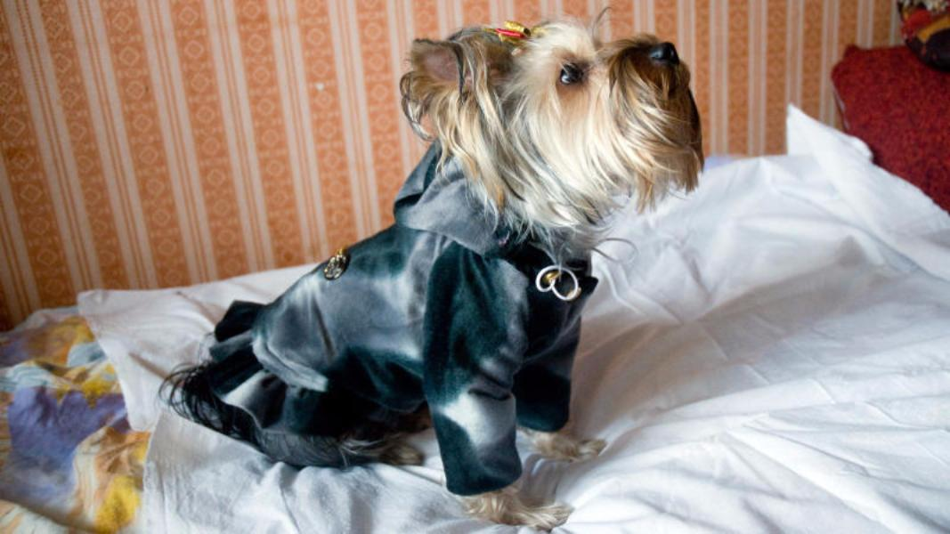 Народные избранники московской городской думы посоветовали одевать собак всветоотражающую одежду