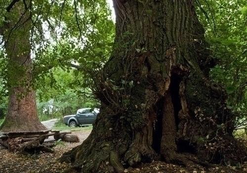Дупла 12 самых почтенных повозрасту деревьев вЦарицыно впервый раз пройдут лечение