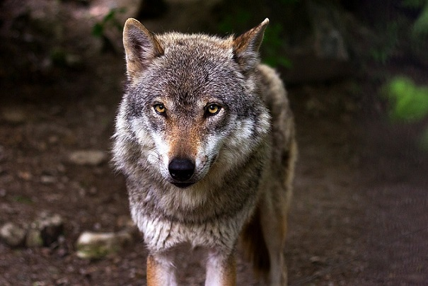 ВПодмосковье на11-летнюю девочку напал волк