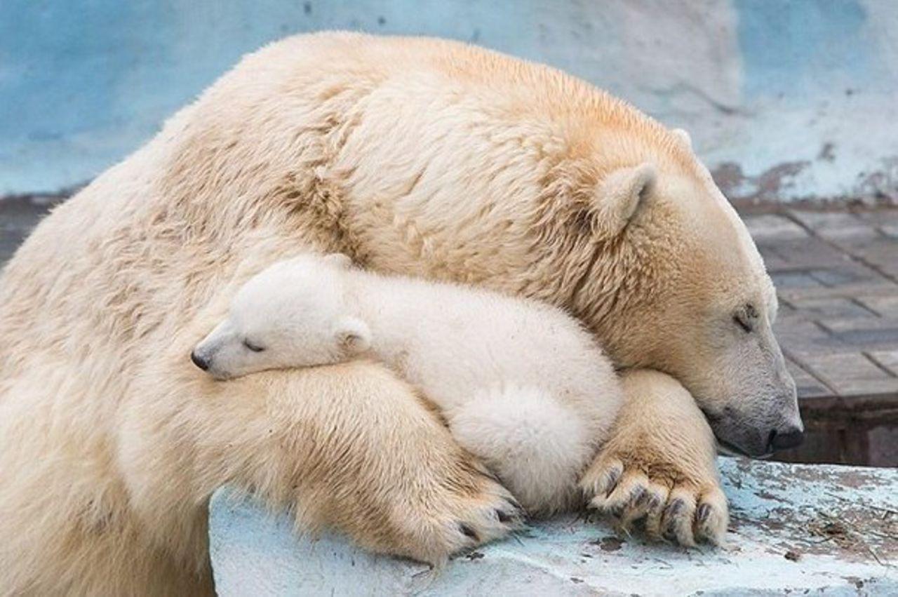 Белая медведица загрызла новорожденного детеныша вБерлинском зоопарке