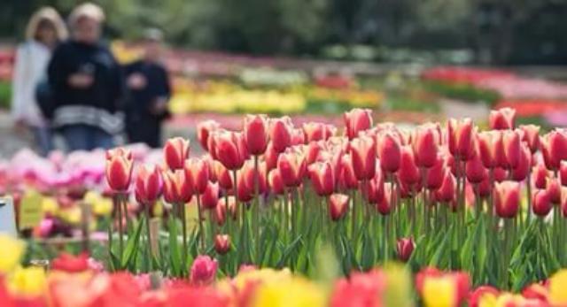 Цветники наЮго-Западного округа украсят тюльпаны