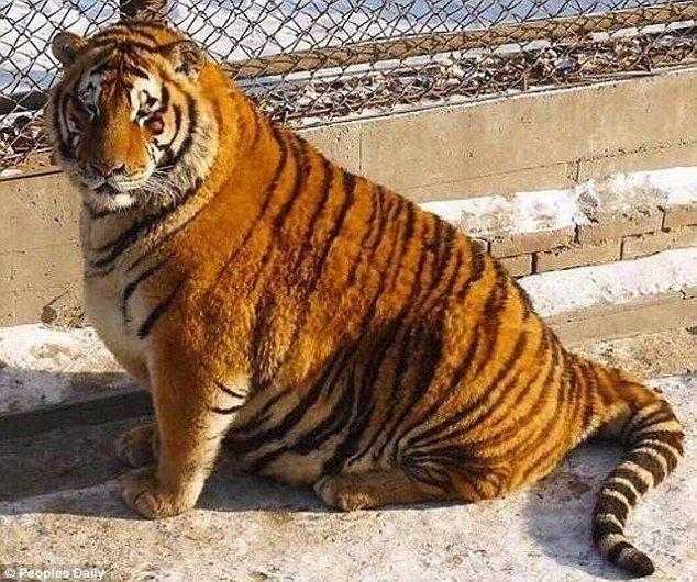 Пухлые амурские тигры поохотились занаблюдавшим заними квадрокоптером