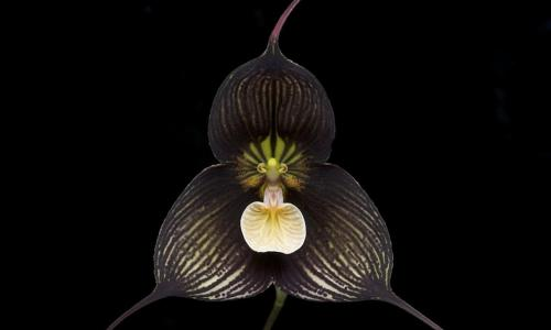 ВБотаническом саду МГУ расцвела орхидея-вампир— Зловещая и красивая